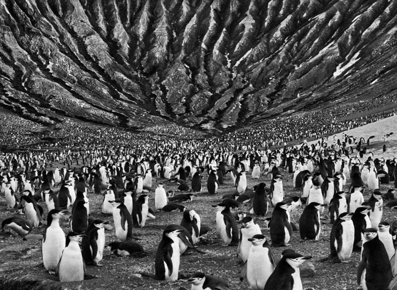 Sebastiao Salgado, Gensei, pinguini