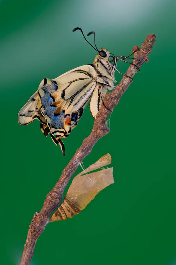 Fotografia macro, Tecnica fotografica, farfalla, pupa, crisalide